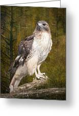 Red Tailed Hawk Perched On A Branch In The Woodlands Greeting Card