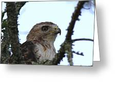 Red-tailed Hawk - Young And The Old Greeting Card