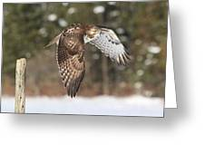 Red Tailed Take-off Greeting Card