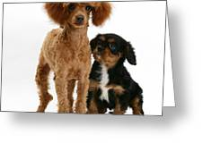 Red Toy Poodle And Cavalier King Greeting Card