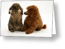 Red Toy Poodle Pup With A Lionhead Greeting Card