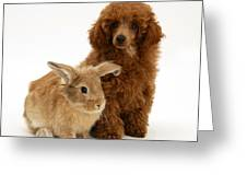 Red Toy Poodle Pup With Lionhead-cross Greeting Card