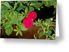 Red Velvet Petunia Greeting Card