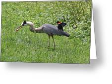 Red-winged Blackbird Attacking Great Blue Heron Greeting Card