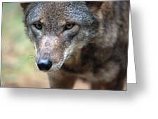 Red Wolf Closeup Greeting Card