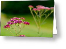 Red Yarrow On Green Greeting Card