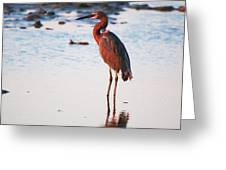 Reddish Egret Basking In The Sunset Greeting Card