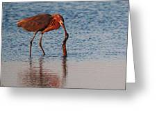 Reddish Egret Checking It Out Greeting Card