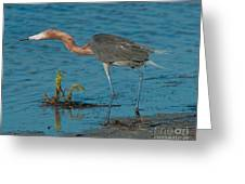 Reddish Egret Hunting Greeting Card