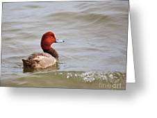 Redhead Duck Greeting Card
