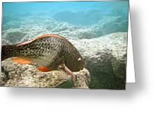 Redlip Parrotfish Greeting Card