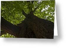 Redwood 1 Greeting Card