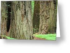 Redwood Trees Art Prints Big California Redwoods Greeting Card