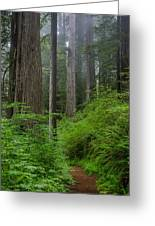 Redwoods Along Ossagon Trail Greeting Card