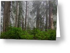 Redwoods In Breaking Mists Greeting Card