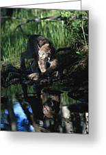 Reflection Of Lynx In Stream Idaho, Usa Greeting Card