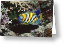 Regal Angelfish In Coral Reef Greeting Card