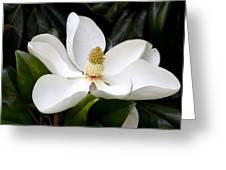 Regal Southern Magnolia Blossom Greeting Card