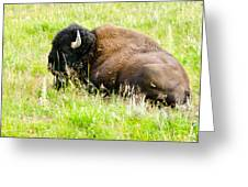 Resting Buffalo Greeting Card