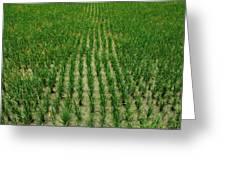 Rice Field Greeting Card