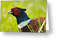 Ring Neck Pheseant Greeting Card
