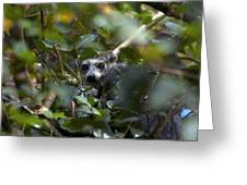 Ring-tailed Lemur In A Tree Greeting Card