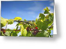 Ripening On The Vines Greeting Card by Steven Ainsworth