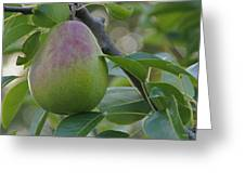 Ripening Pear In Tree Greeting Card