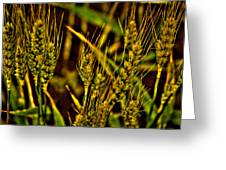 Ripening Wheat Greeting Card