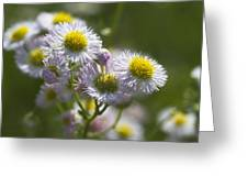 Robin's Plantain - Alabama Wildflowers Greeting Card