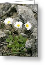 Rock-plant Daisy (bellis Margaraetifolia) Greeting Card