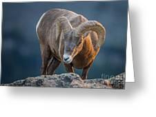 Rocky Mountain Big Horn Ram Greeting Card