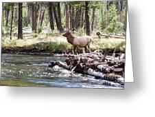 Rocky Mountain Elk Greeting Card by Cindy Singleton