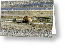 Rocky Mountains Elk Greeting Card
