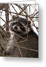 Rocky Raccoon Greeting Card