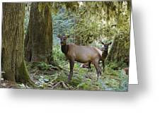 Roosevelt Elk Cervus Elaphus Greeting Card