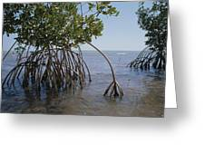 Root Legs Of Red Mangroves Extend Greeting Card
