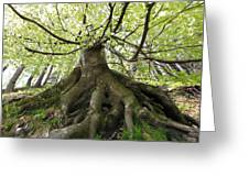 Roots Of An Old Beech Tree Greeting Card