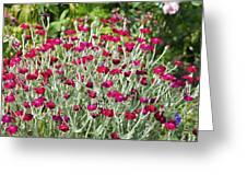 Rose Campion (lychnis Coronaria) Greeting Card