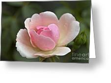 Rose Flower Series 12 Greeting Card