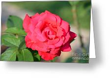 Rose In The Morninglight Greeting Card