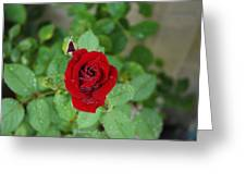 Rose Mist  Greeting Card