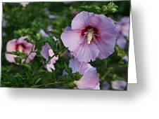 Rose Of Sharon Blooms In Sunshine Greeting Card
