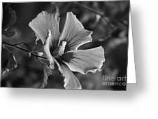 Rose Of Sharon Grey Greeting Card
