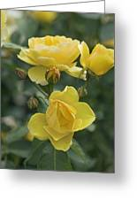 Rose (rosa 'charlotte Auspoly') Greeting Card by Dr Keith Wheeler