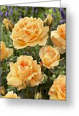 Rose Rosa Sp Solo Mio Renaissance Greeting Card