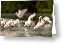 Roseate Spoonbills Ajaia Ajaja Feed Greeting Card