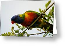 Rosella Splendour  Greeting Card
