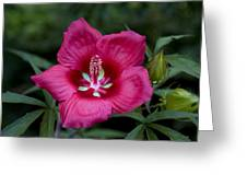 Rosey Blossom Greeting Card