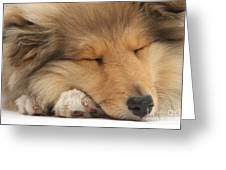 Rough Collie Pup Greeting Card